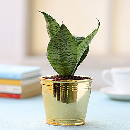 Golden Pot of Sansevieria Plant