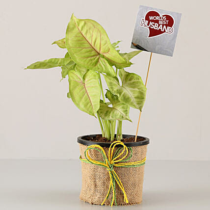 attractive plant for karwa chauth online