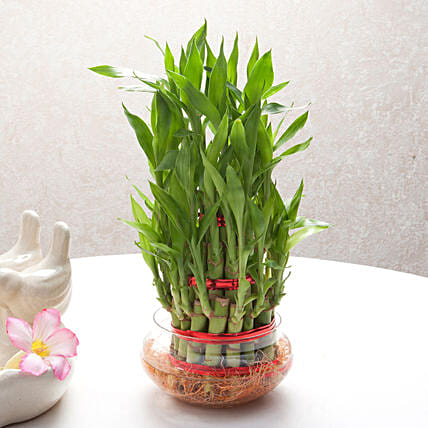 Three layer bamboo plant in a round glass vase plants gifts:Send Gifts for Pongal