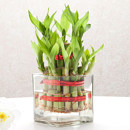 Two layer bamboo plant with a square glass vase plants gifts:Lucky Bamboo for Mothers Day