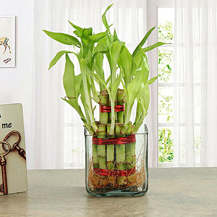 Two layer bamboo plant with a square glass vase plants gifts:Valentines Day Lucky Bamboo