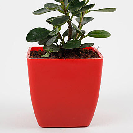 small indoor plant:Desktop Plant