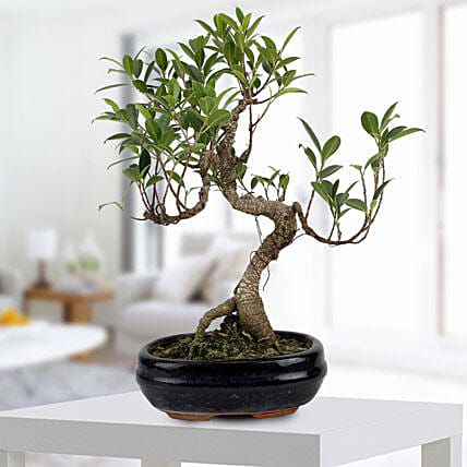 Ficus s-shaped plant in a pot