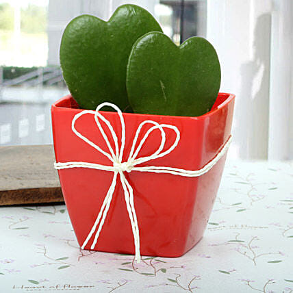 Love Plant aka Hoya plant arrangement in a red plastic vase wrapped with white raffia:Exotic Plant Gifts