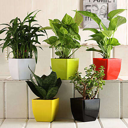 Order Online Plant Set:Air Purifying Plants