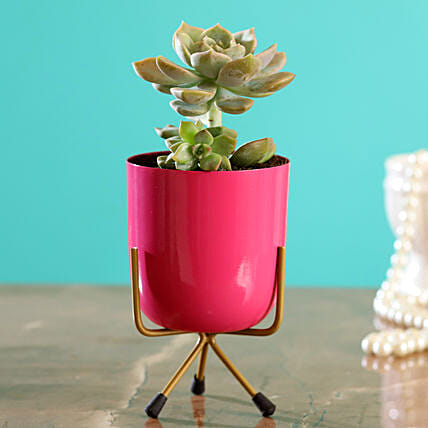 Graptopetalum Plant In Pink Table Pot:Cactus and Succulents Plants
