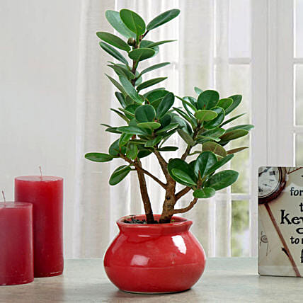 Ficus dwarf plant in a planter:Office Desk Plants