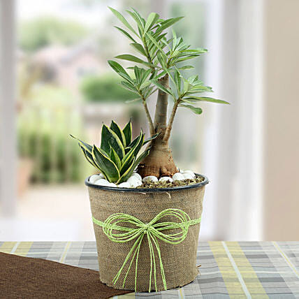 Indoor Home Decor Plants:Succulents and Cactus Plants