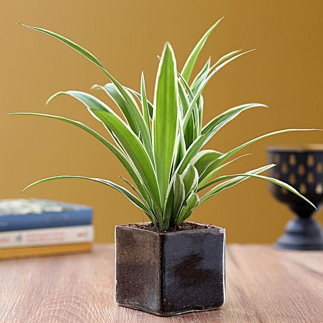 Online Green Spider Plant