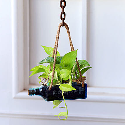 Hanging Golden Money Plant Bombay Sapphire Bottle Planter:Money Plants