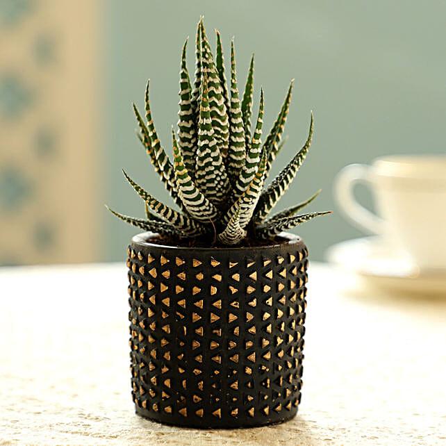 Haworthia Plant In Black Pot
