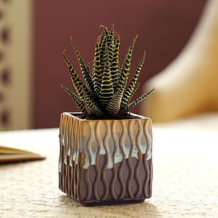 Haworthia Zebra Plant In Multicoloured Pot