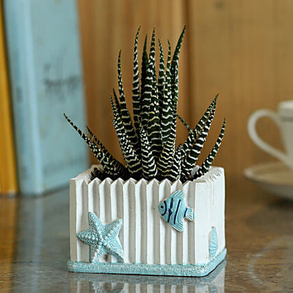 Haworthia Zebra Plant in Pot:Resin Planters