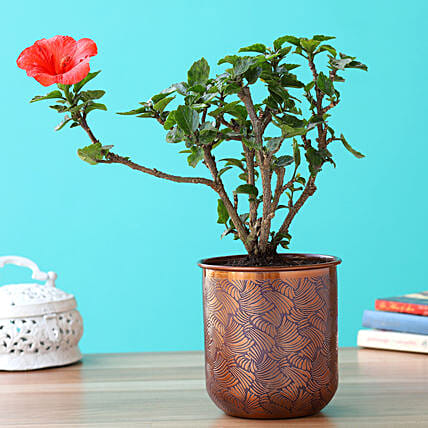 Hibiscus Plant In Orange Iron Embossed Pot:Hibiscus Plant