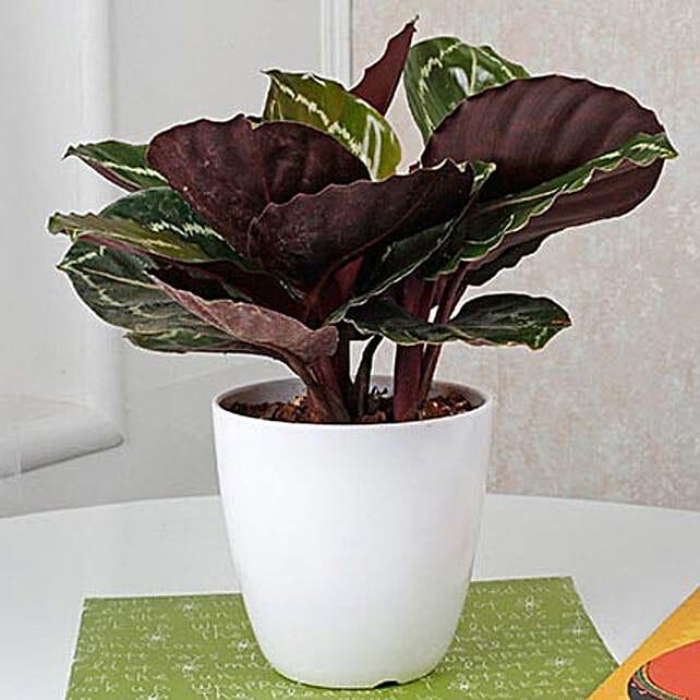 Home Decor Croton Plant | Gift online corton plant - Ferns N Petals