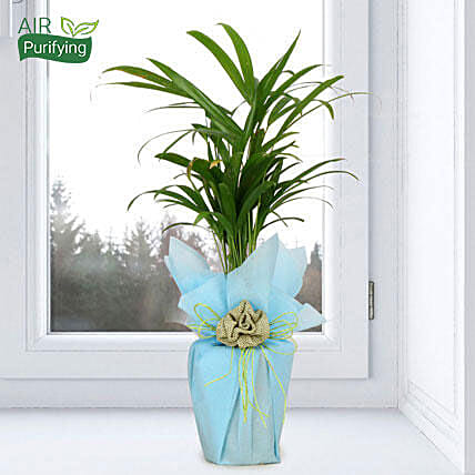 Areca palm plant in a vase:Gifts for Basant Panchami