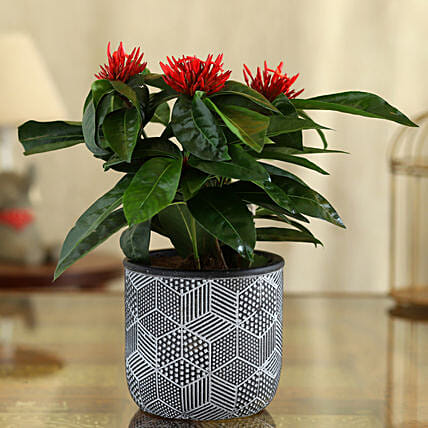 Ixora Plant In Black And White Engraved Pot