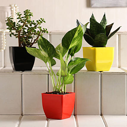 Jade Money Sansevieria Plant Set