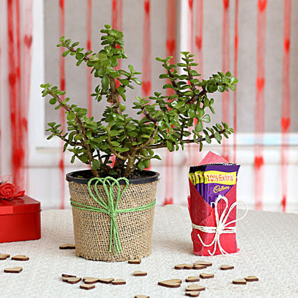 Jade Plant and Chocolate Combo  for valentine:Plant Combos