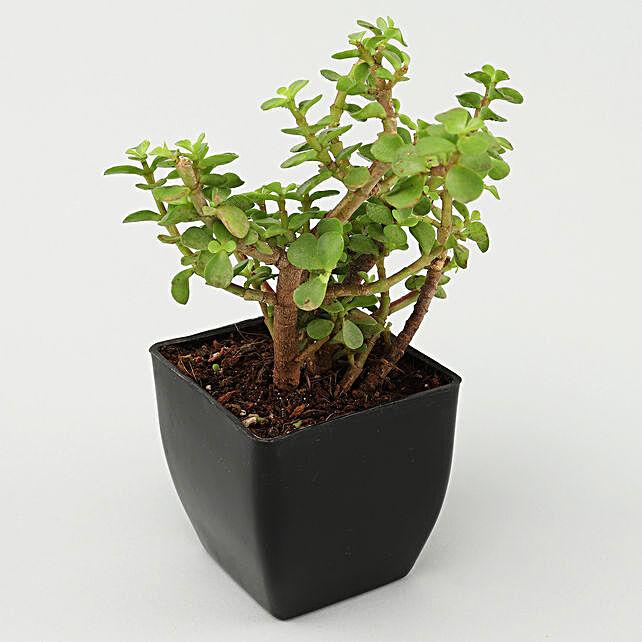 Jade Plant in Black Pot:Gifts To Govindpur