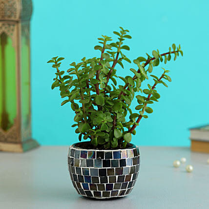 Online Jade Plant In Black Mosaic Design  Metal Pot