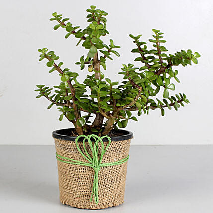Jade Pot Plant  for valentine:Potted Plants
