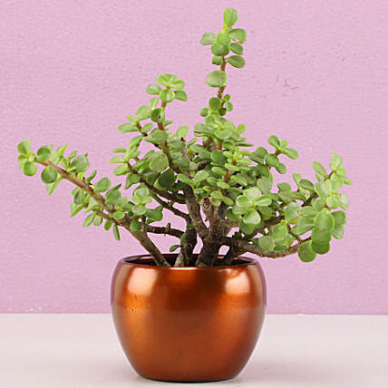 Jade Plant In Brass Pot Hand Delivery:Send Plants for Anniversary