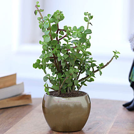Online Jade Plant In Gold Tone Metal Pot:Indoor Plants