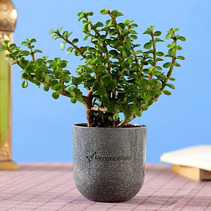 Jade Plant in Grey Melamine Planter