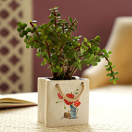 Jade Plant In White Pot:Get Well Soon Gifts