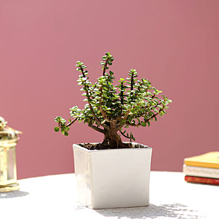 jade plant with white pot for mothers day