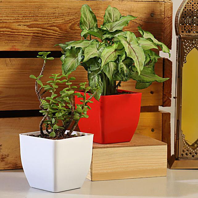 Jade Syngonium Plant Set:Plants Delivery