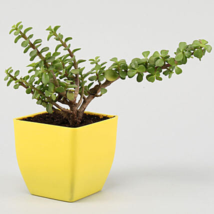 Lively Jade Plant in Yellow Plastic Pot