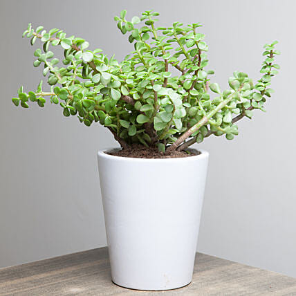 Jade plant in a ceramic vase:Potted Plants