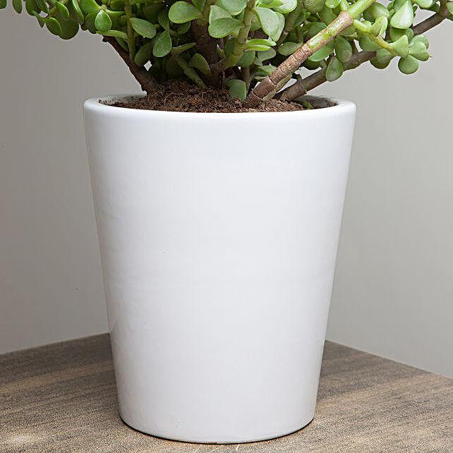 Lively Jade Plant