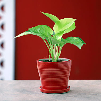 Online Golden Money Plant In Red Pot