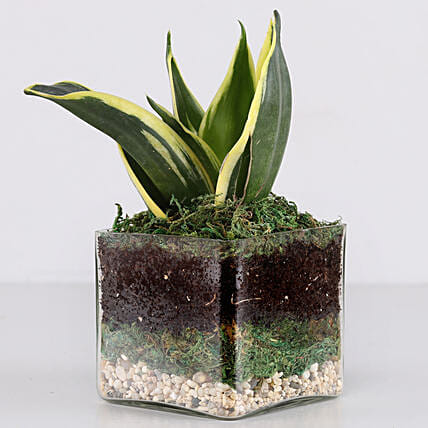 Online Snake Plant Glass Terrarium:Glass Planters Delivery