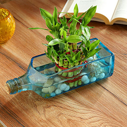 Lucky Bamboo Bombay Sapphire Bottle Planter:Plants For Birthday Gift