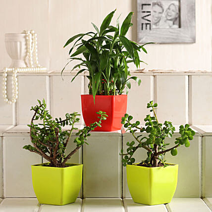 Lucky Bamboo Jade Plant Set