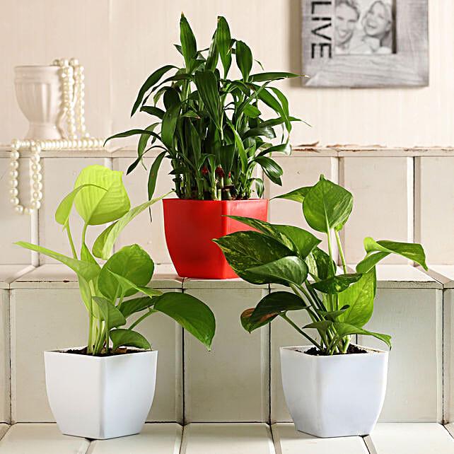 Lucky Bamboo Money Plant Set