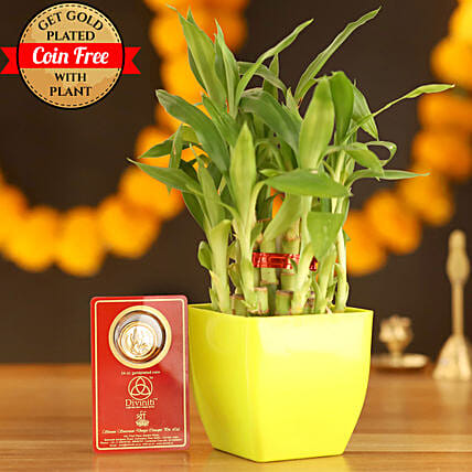 Lucky Bamboo With Free Gold Plated Coin