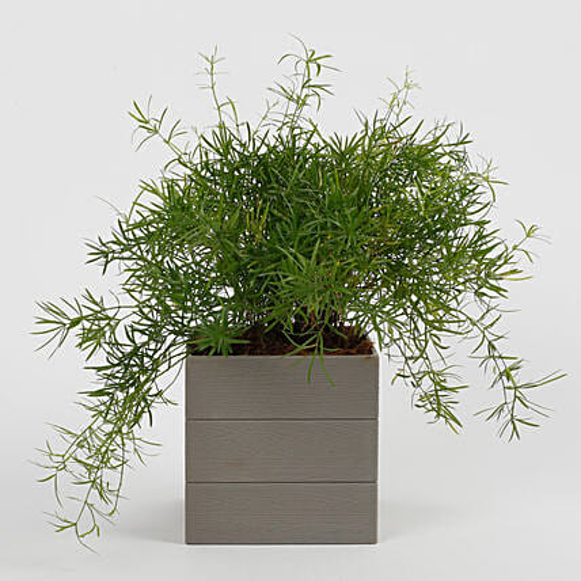 shrub plant online