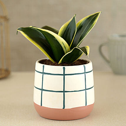 Milt Sansevieria Plant In Check Pattern Ceramic Pot:Gifts for Dhanteras