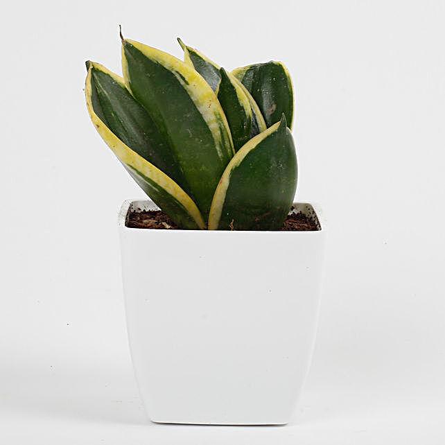 sansevieria plant online
