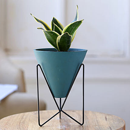 Milt Sansevieria Plant In Triangular Pot With Stand