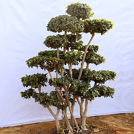 Exclusive Bonsai Tree Online