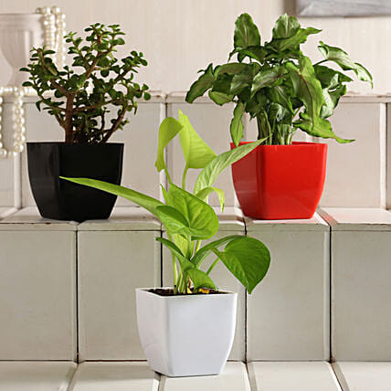 Money Jade Syngonium Plant Set:Buy Indoor Plants