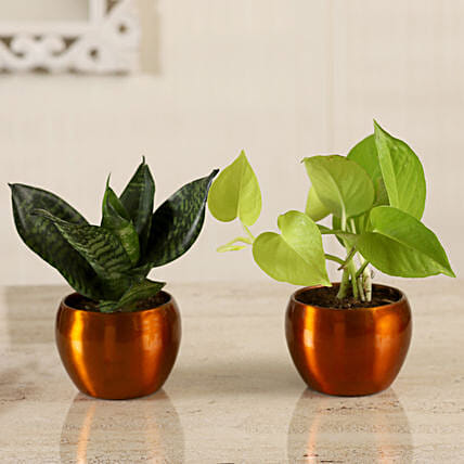 Online Money Plant & Green Sansevieria Combo:Metal Planters Delivery