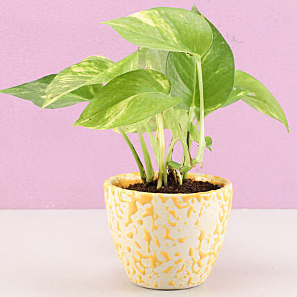 money plant for home décor