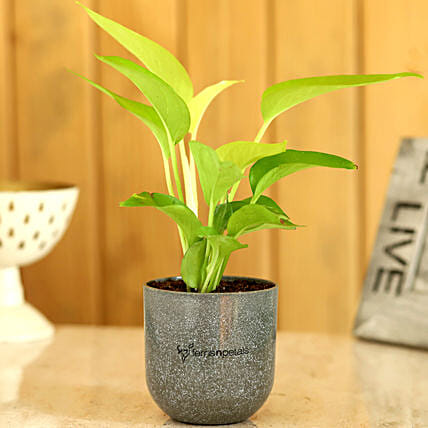 money plant in melamine pot